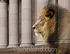 A magnificent lion's visage is multiple exposed over wall street type columns in a stock photo about investment, banking and financial leadership.