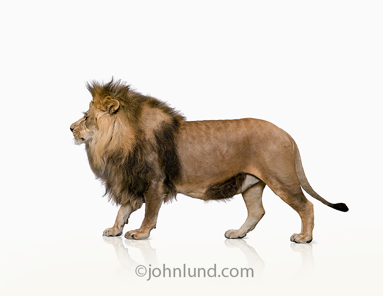 A powerful and majestic lion stands on a white background in a stock photo about strength, power, and, of course, the king of beasts.