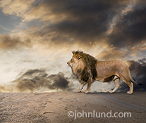 A lion stands in profile against storm clouds as he looks into the distance with a regal stare in an image about power and strength in nature.