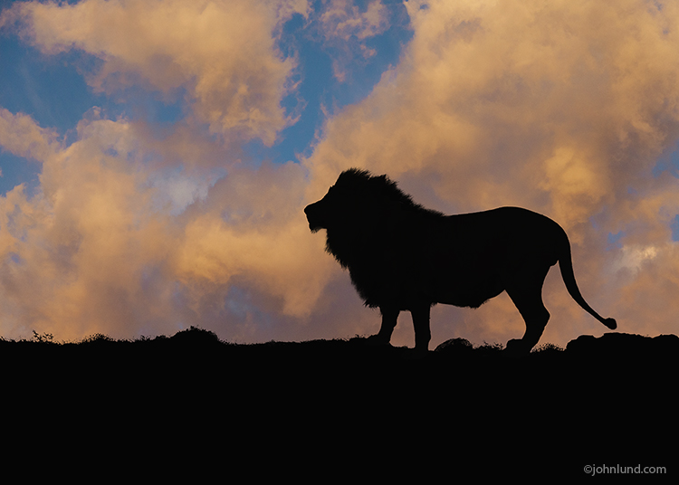 A lion is silhouetted against orange sunset clouds in this concept photo about danger, nobility, strength, power and even endangerment issues.