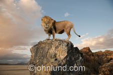 Photo of a lion standing on a cliff and looking towards the camera in an image about vigilance, vision and mastery.