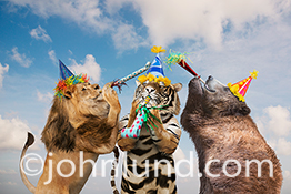 Lions, tigers and bears are featured in this funny animal photo in which a lion, a tiger and a bear are having a party complete with party hats and favors. This hilarious image has been created for use in humorous greeting cards and stock photo use.