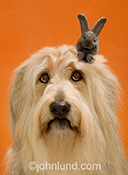 A shaggy dog looks plaintively up towards the top of his head where a gray hare has appeared in a humorous image about aging and gray hair.