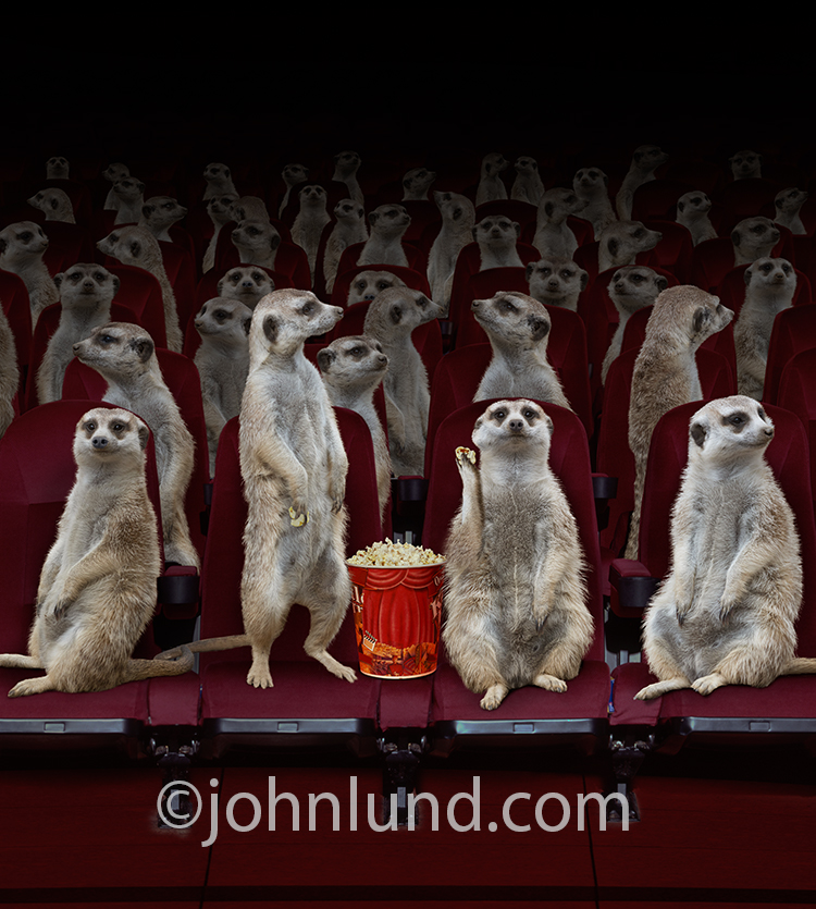 A crowd of Meerkats sit (and stand) in a movie theater, some of them munching popcorn, in a humorous stock photo and greeting card image.