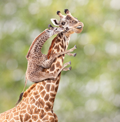 A mama giraffe gets a kiss and hug from her child.