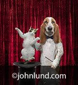 You can teach an old dog new tricks as seen in this image of a funny Basett Hound pulling a cat out of a magician's hat, an image created with humorous greeting and birthday cards in mind.