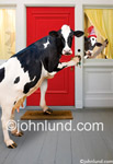 Funny picture of a cow coming home after work, door key in hoof. The cows are coming home and this holstein cow is ringing the doorbell.