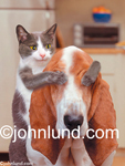 Stock Photo of a funny dog and cat doing human things.  They are playing Guess Who with the cat holding his paws over the Basset Hound's Eyes.