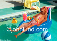 A Bloodhound floats on an inflatable raft in a pool and has a cold tropical fruit drink along with a plastic duck and basketball.