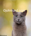 Picture of a gray cat. Stock photo and funny animal portrait of a grey cat, a feline portrait, with a slightly worried, slightly puzzled looking kitty. Adorable cute cat photos.