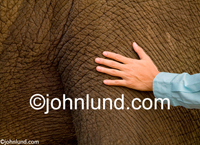 Stock photograph of a man's hand feeling the texture of an elephant's hide: The Pachyderm's thick, rough skin.