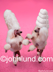 Funny Pictures of Two Poodles gossip while standing on a pink carpet and wearing outragous Bee Hive hair styles