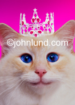 Funny animal picture and stock photo of a kitty cat wearing a Tiara in front of a pink background: Funny Greeting Card.