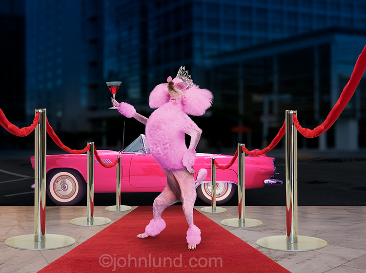 A pink poodle poses on a red carpet raising up a pink cocktail and standing in front of a pink Thunderbird car, in a funny animal stock photo about success, fame and fanfare!