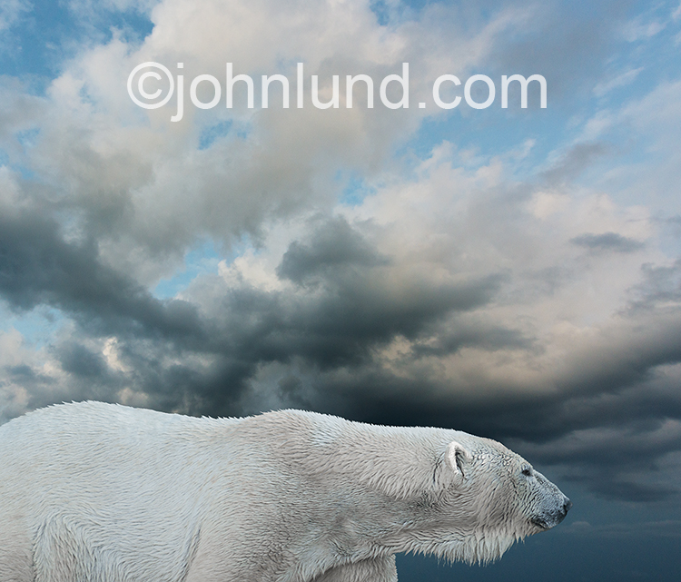 A polar bear is captured on the prowl against gathering storm clouds in a stark and stylized image that captures the power and grace of the big carnivore and endangered species.
