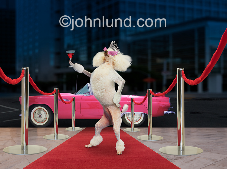 A poodle stands on a red carpet wearing a tiara and raising a cocktail glass in a funny stock photo about succes and excess.