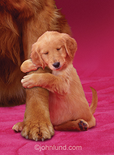 An Irish Setter puppy hug's his mother's leg in a touching stock photo about love and motherhood.