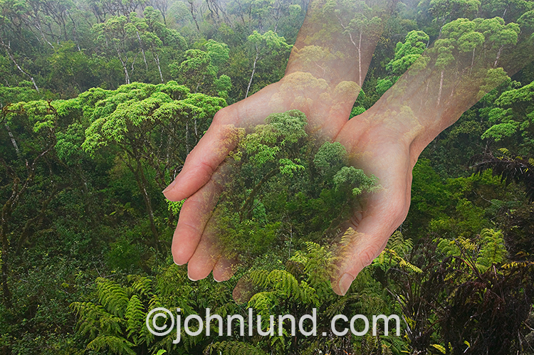 A pair of hands cradle a section of rain forest in an image about environmental issues, ecology and responsible custodianship of our natural resources.