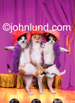 Funny picture of three cats wearing red hats and dancing the can can on stage in front of a purple curtain. Crazy cat photos.