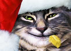 Close up of a cat, wearing a Santa Hat, with a canary feather in his  mouth.