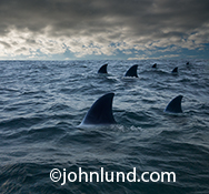 Seven dorsal fins from a school of Great White sharks cut through the dark blue ocean waters in an image of shark infested waters and a metaphor for risk and danger whether in life or in business.