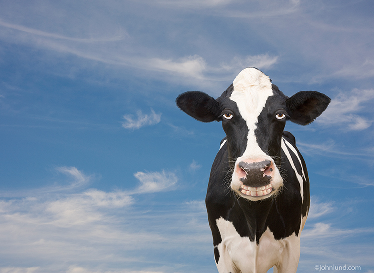 "A heavy-lidded holstein cow flashes a fake smile in this silly but attention-grabbing image designed to appeal to the lighter side of us all. Who among us doesn't smile even if just a bit when looking at this funny cow photo?: Say ""Cheese""!"