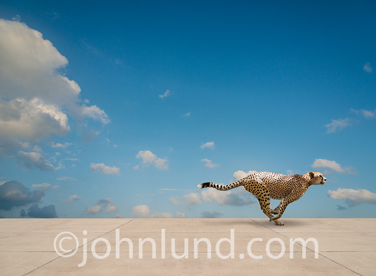 A cheetah sprints across a concrete expanse in a stock photo about the concept of speed.