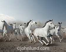 A stampeding herd of white horses gallop towards the viewer in this photo of speed, motion, energy and freedom.