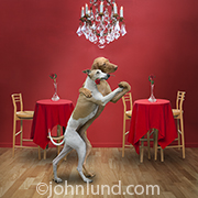Two dogs, a Whippet and a Weimeraner, dance the tango in a club in this humorous image created for greeting cards, calendars and stock photo uses.