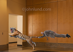 Funny stock photo of a businessman holding a tiger by the tail...and being dragged through the corporate office by that tiger!