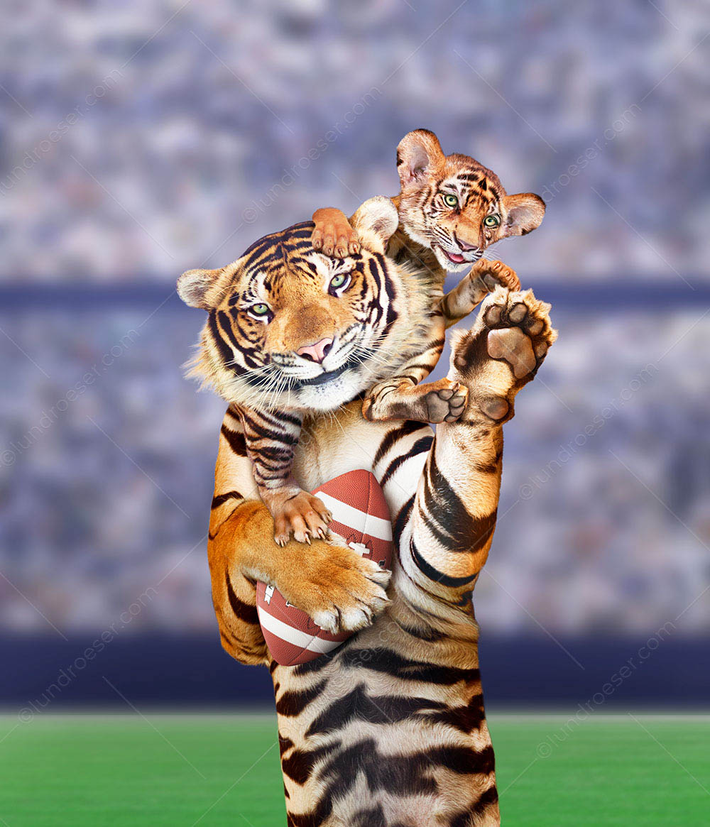 A funny tiger, holding a football, has his cub on his shoulders in a humorous greeting card image and stock photo.1