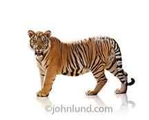 A tiger stands in profile, his head turned to look directly at the viewer, in this stock photo of a Tiger on a white background.