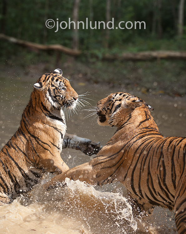 Two Bengal tigers fight each other in the shallow water of a river in striking image of big cats.