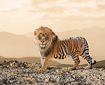 This Tiger-Lion hybrid stock photo can be called a Tion or Liger, but either way he is a magnificent beast with a lion's mane and a Tiger's stripes...no creature to be trifled with...he represents the un-natural as well as the possibilities of the univers