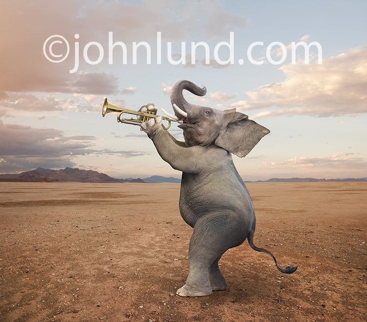 A funny elephant stands and plays the trumpet in a humorous stock photo and greeting card image.