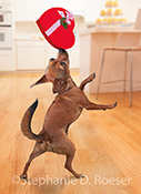 In this Valentine Chihuahua stock photo the clever little doggie is seen balancing a heart shaped box of Valentine's candy on his nose...a great image for a Valentine's Day Card!