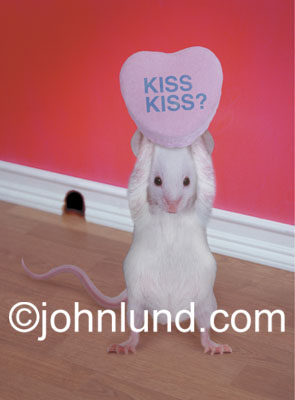 Stock photo and funny animal picture of a cute, white mouse holding up a valentine's day candy that says Kiss, Kiss?
