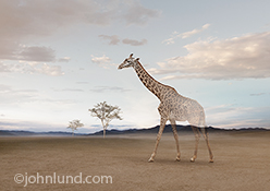 In this photo of a giraffe standing on a vast empty plain the creature begins to fade away to nothing in a powerful statement about environmental concerns, loss of habitat, possible extinction and ecological responsibility.