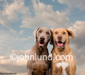 Stock image of two dogs leaning on each other in a funny animal portrait using a weimeraner and another pet. Picture of two happy dogs.