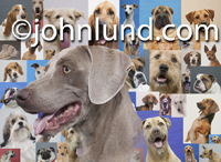 This picture of a happy Weimaraner stands out over a background composed of smaller  photos of numerous other dog breeds.