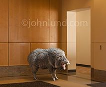 Corporate greed is dramatically shown in this concept stock photo featuring a wild-eyed boar standing in a corporate lobby.