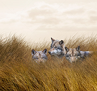 A wolf pack lurks in tall grass in a stock photo about hidden dangers, challenges and adversity.