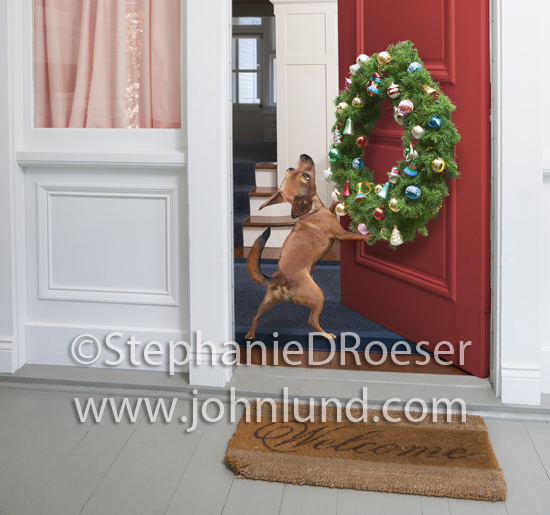 A Chihuahua hangs a Christmas Wreath on his front door showing his holiday spirit in this funny dog picture.