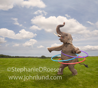 A funny elephant joyfully manages to keep three hula hoops spinning at once in a demonstration of skill and athletic ability.