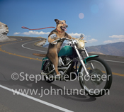 Picture of a German Shepherd riding a motorcycle down a winding road with his leash flying out behind him.