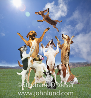 Funny picture of a group of dogs tossing a Dachshund high in the air in celebration.