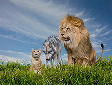 A lion looks angrily down on a wolf who looks menacingly at a cat who looks concerned in a funny stock photo about food chains.