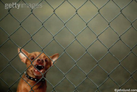 A Chihuahua is being a ferocious and fierce guard dog behind a chain link fence.