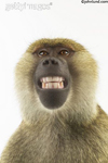 A baboon smiling and showing his teeth shot against a white background. Picture of a smiling monkey.