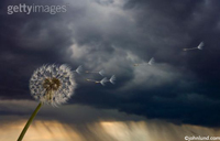 Pix of a dandelion's seeds blowing before a distant rain storm, a squall clearing before the setting sun, symbolic of wishes and dreams.